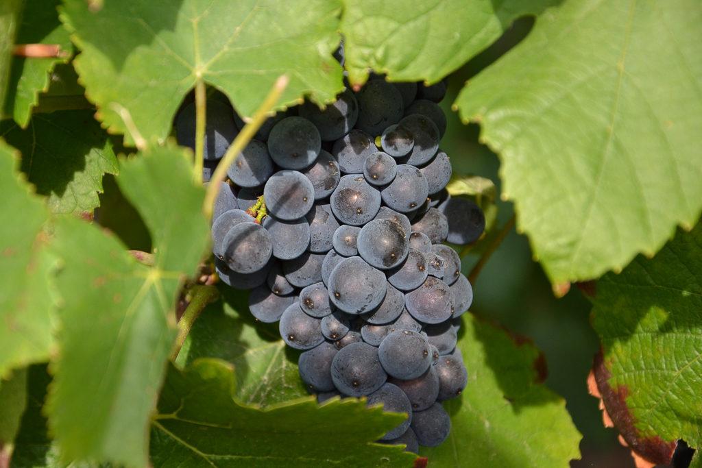 champagne leclere pointillart vignoble raisin
